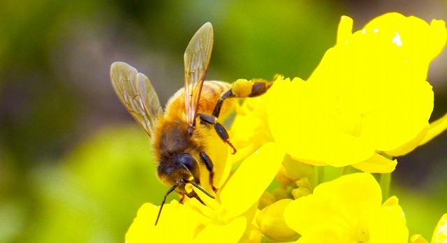 ナノハナにいるセイヨウミツバチ